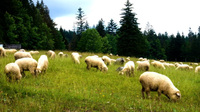 group of sheeps on a green field - ovino video stock e b–roll