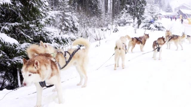 grupp av siberian husky väntar på flykt - norrbotten bildbanksvideor och videomaterial från bakom kulisserna