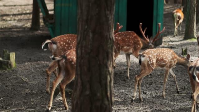 group of sika deer with horns walk in a national park, japanese deer, dappled - jelonek filmów i materiałów b-roll