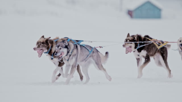 SLO MO PAN Group of sled dogs running in the snow
