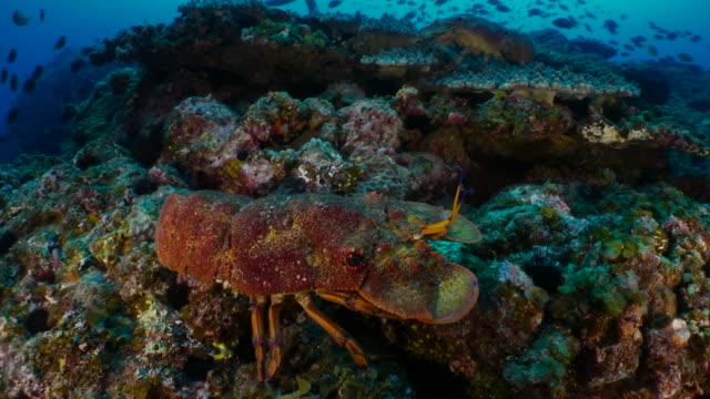 Group of Slipper Lobsters hiding at undersea reef, Japan