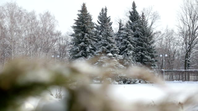 Group of snowy fir trees in winter Park. video