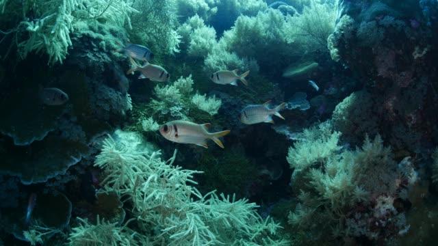 vídeos y material grabado en eventos de stock de grupo de barreados (myripristis) submarinos - sea life park