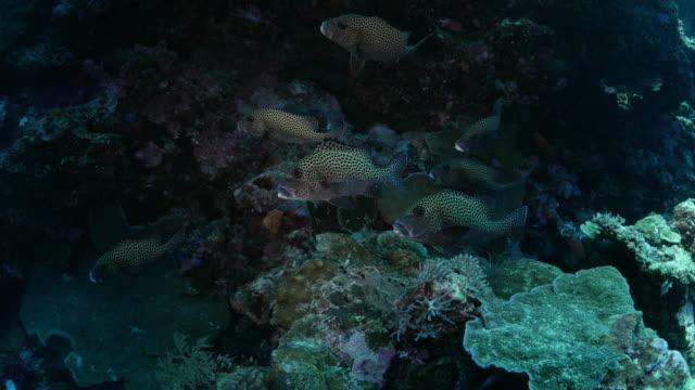 vídeos y material grabado en eventos de stock de grupo de sweetlip visto peces en el arrecife - sea life park