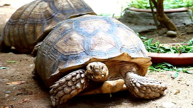 group of  sulcata tortiose - żółw lądowy filmów i materiałów b-roll