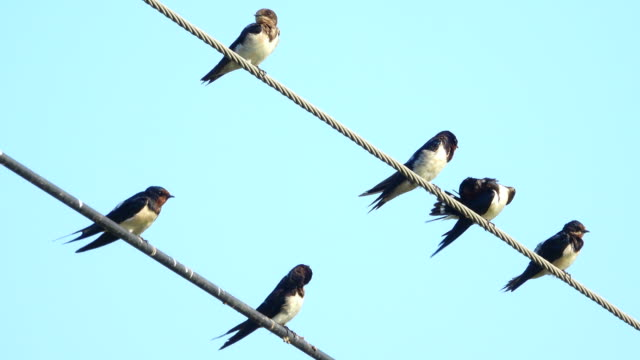 Group of swallow on power line video