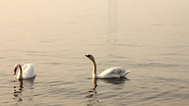 Group of swans swimming in the sea video