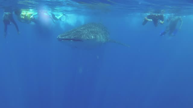 Group of tourist swims behind the Whale Shark - Rhincodon typus, Indian Ocean, Hikkaduwa, Sri Lanka Group of tourist swims behind the Whale Shark - Rhincodon typus, Indian Ocean, Hikkaduwa, Sri Lanka basking shark videos stock videos & royalty-free footage
