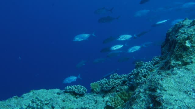 vídeos y material grabado en eventos de stock de grupo de jureles gato peces submarinos - zona pelágica