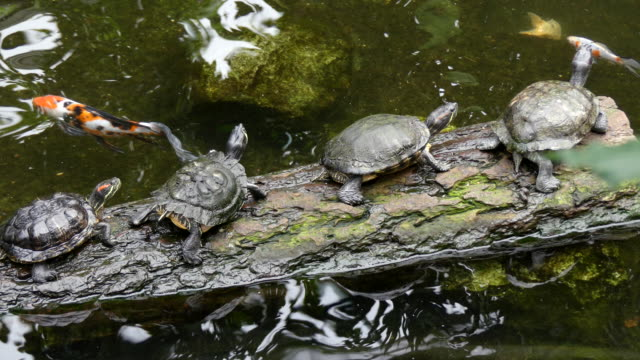 group of turtles resting on log - pond stock videos & royalty-free footage