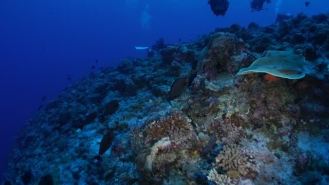 vídeos y material grabado en eventos de stock de grupo de peces unicornio (naso), nadar en el arrecife de coral - zona pelágica