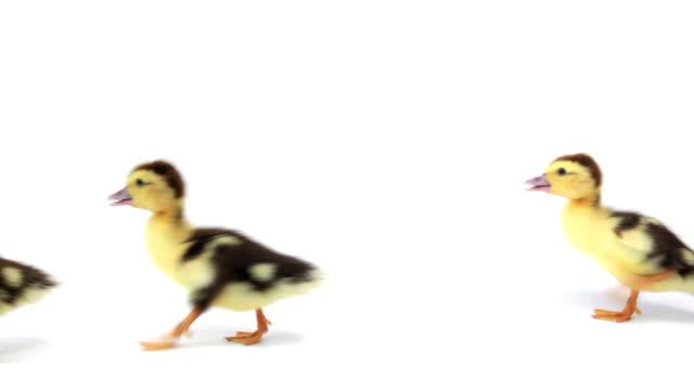 gruppo di camminare ducklings su sfondo bianco - distinguersi dalla massa video stock e b–roll