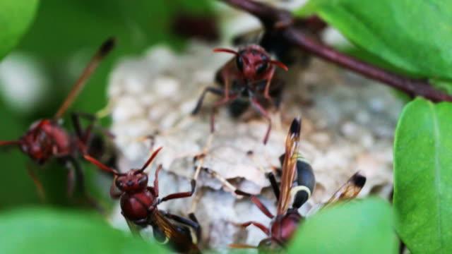 eine gruppe von wespen ihr nest zu bewachen. - hornisse stock-videos und b-roll-filmmaterial