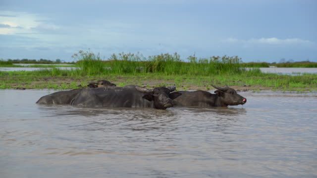 Group Of Water Buffalo Relaxation In Nature Stock Video
