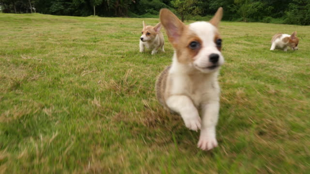 Group of Welsh Corgi puppy running,4k Group of cute puppy Welsh Corgi  running around the grass outdoor in the Park ,  running at the camera in slow motion wide angle shooting   4k group of animals stock videos & royalty-free footage