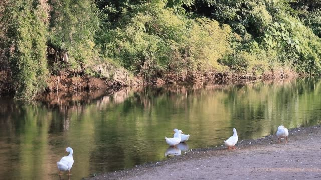 Group of white ducks resting and cleaning by the river on a country farm with green tree and forest background.