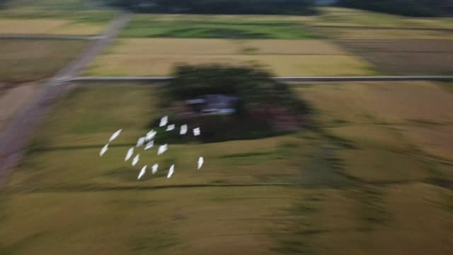 a group of white egrets fly in group at malaysia - ornitologia video stock e b–roll