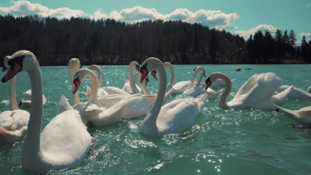 eine gruppe weißer schwäne schwimmt und sucht auf einem wunderschönen türkisfarbenen see mit der im hintergrund strahlenden sonne nach nahrung. - schwan stock-videos und b-roll-filmmaterial