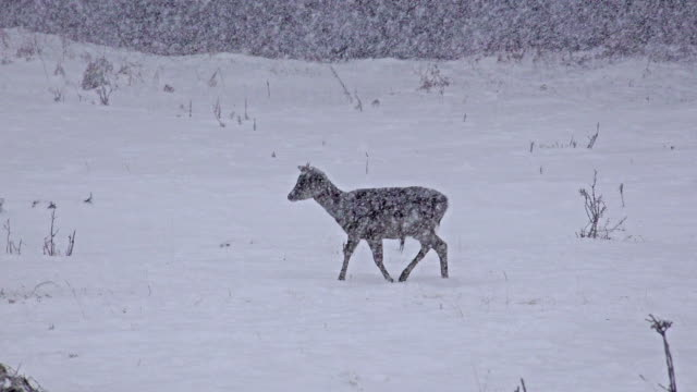 Group of Whitetail Deer mature bucks, January winter snow blizzard, uhd stock footage video