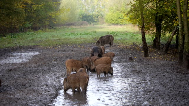 Group of wild boar video