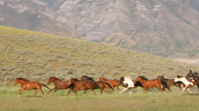 Group of Wild Horses Being Herded