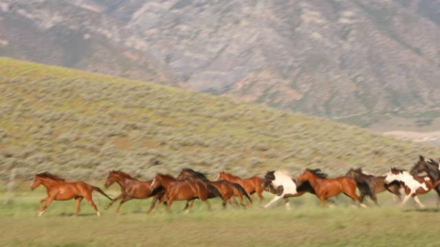 gruppo di cavalli selvaggi che vengono allevati - fauna selvatica video stock e b–roll