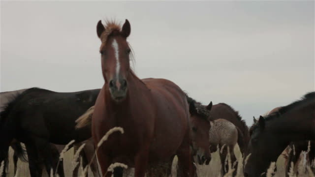 a group of wild horses graze in a field - stallone video stock e b–roll
