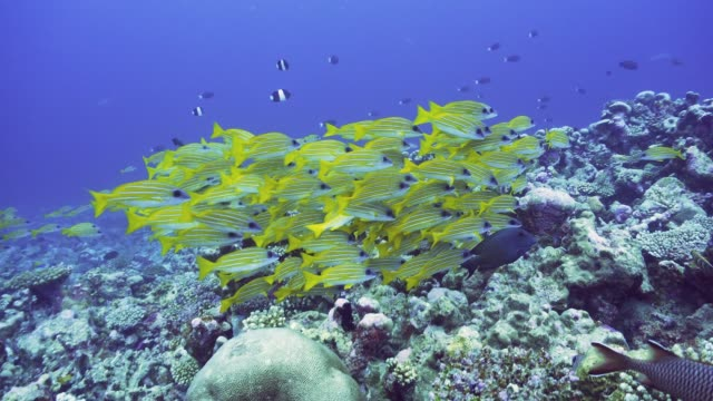 a group of yellow striped snappers on the reef in maldives - луциан стоковые видео и кадры b-roll