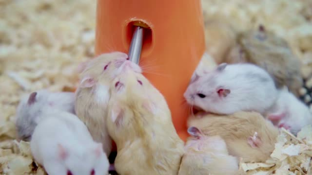 group of young thirsty hamster mouses white brown and black color scramble drinking water and eating together in a pet shop. - organizm żywy filmów i materiałów b-roll