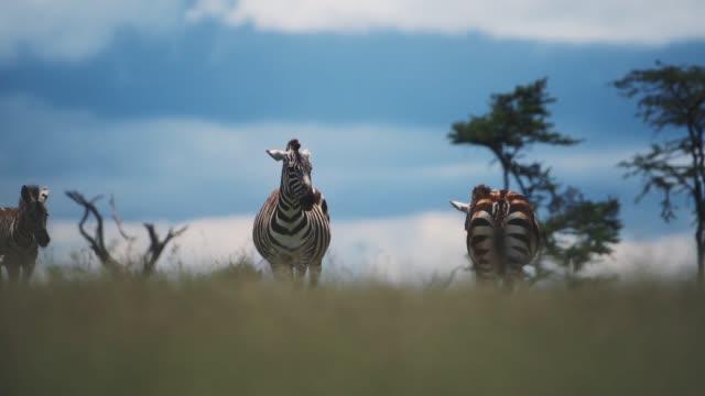 A Group Of Zebra Walking Around The Grassland In El K Safari In Kenya Under The Warm Weather. -wide shot