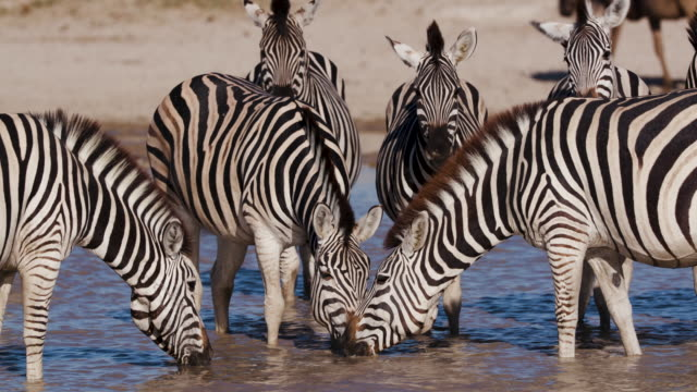 Group of Zebras at a waterhole on the Makgadikgadi Pans Close-up view of a group of Zebras with cute young foals drinking at a waterhole on the Makgadikgadi Pans,Botswana botswana stock videos & royalty-free footage