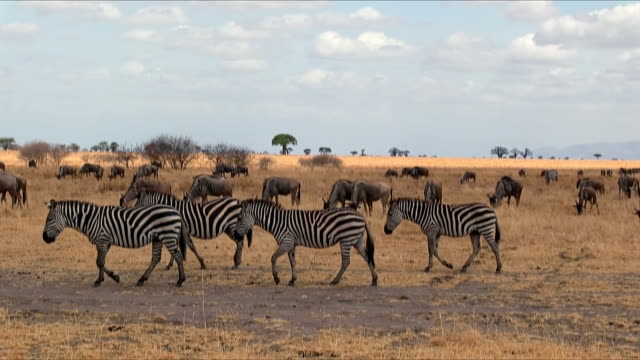 Group of zebras in Tarangire National Park / Tanzania. video