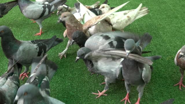 Group pigeons feeding food. Group pigeons feeding food on green ground. animal limb stock videos & royalty-free footage