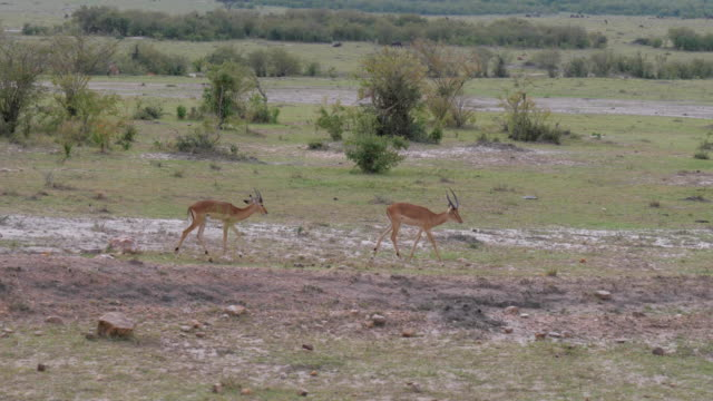 Group Thompson Gazelle Running In The African Savannah, Slow Motion. video
