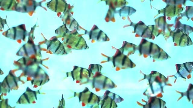 gruppe tiger barb oder sumatra barb puntius tetrazona fisch schwimmt im aquarium - süßwasserfisch stock-videos und b-roll-filmmaterial