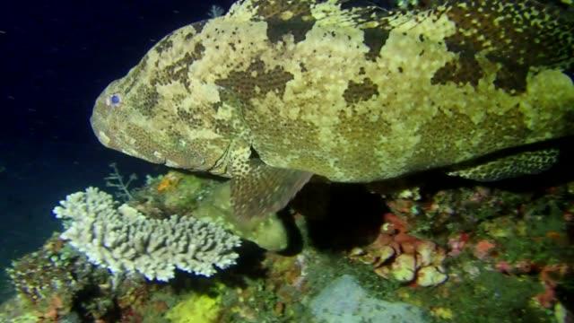 grouper swim near coral reef in the night. brown-marbled grouper - epinephelus fuscoguttatus, bali, indonesia - морской окунь стоковые видео и кадры b-roll