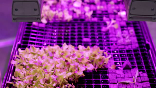 UV grow lights for growing plants. hydroponics Vegetable Farm. LED lights on for growing plants
