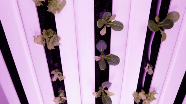 UV grow lights for growing plants. hydroponics Vegetable Farm. LED lights on for growing plants Hydroponics method of growing plants in water. UV grow lights for growing plants hydroponics stock videos & royalty-free footage