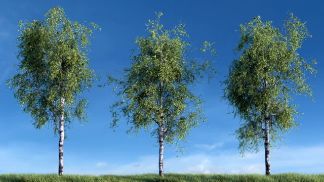 Growing birch trees against sky video