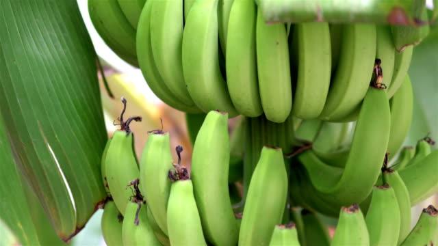 4kスローモーション60fpsで庭でバナナの束を成長 - バナナ点の映像素材/bロール