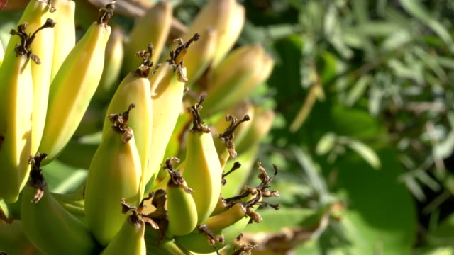 Growing bunch of bananas on the plantation in 4k slow motion video