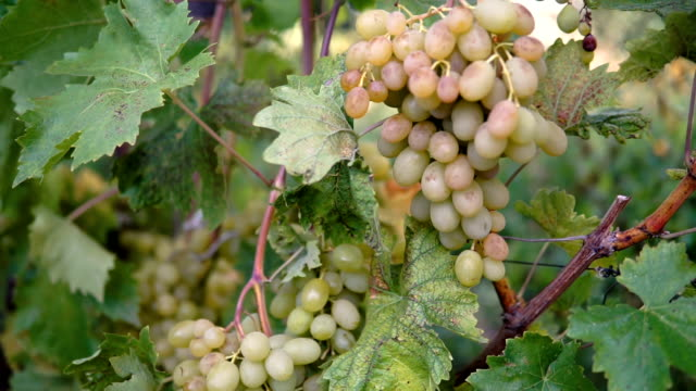 growing bunch of white vine grape with green leaves at vineyard farm, yellow grape berries with soft white bloom on bush under sunlight at soft windy day - молдавия стоковые видео и кадры b-roll