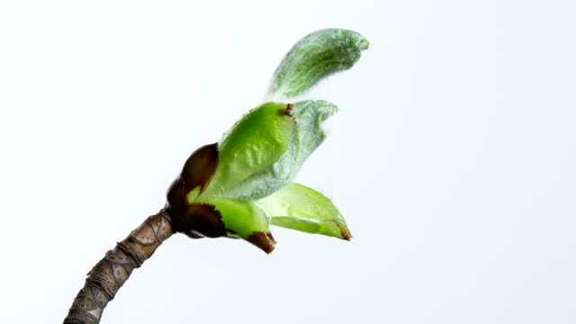 Growing chestnut leafs video