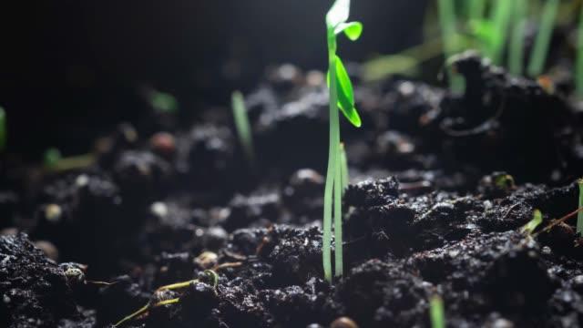 タイムラプスでシラントロ種子を栽培しています。加速ビデオ。家庭の成長健康な天然物.エコツーリズム。庭や温室農業で植物の芽。 - 苗点の映像素材/bロール
