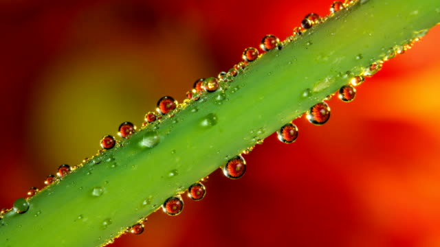 Growing dew drops and refractions of flower 4k time lapse video video