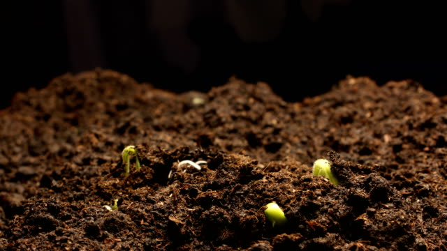Growing green cucumber plant. Timelapse growing, Closeup nature shoot.