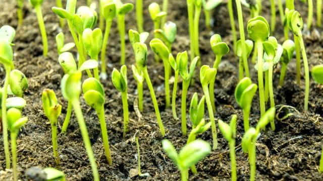 Wachsenden grünen Rasen Pflanze Zeitraffer – Video
