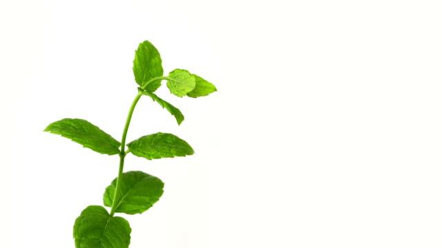 Growing green leaf seedling. video