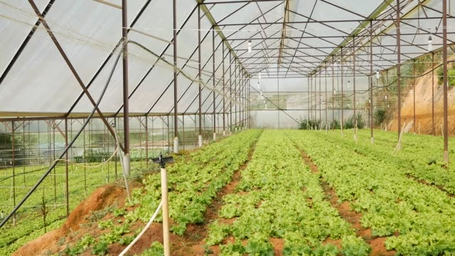 growing green salad in the greenhouse. farming fields, organic vegetables at farm, agriculture industry - orticoltura video stock e b–roll
