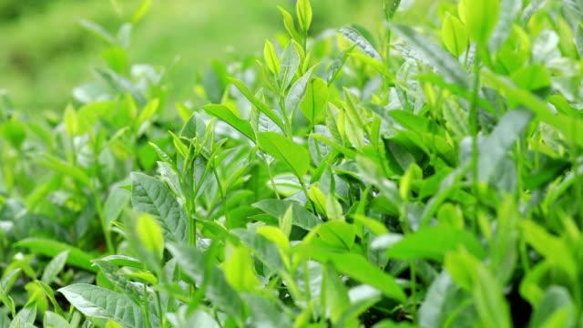 grüner tee pflanzen im frühling berge - grüner tee stock-videos und b-roll-filmmaterial